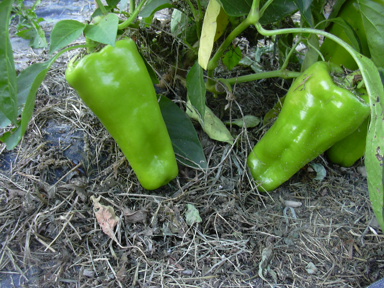 Sweet Pepper Seeds